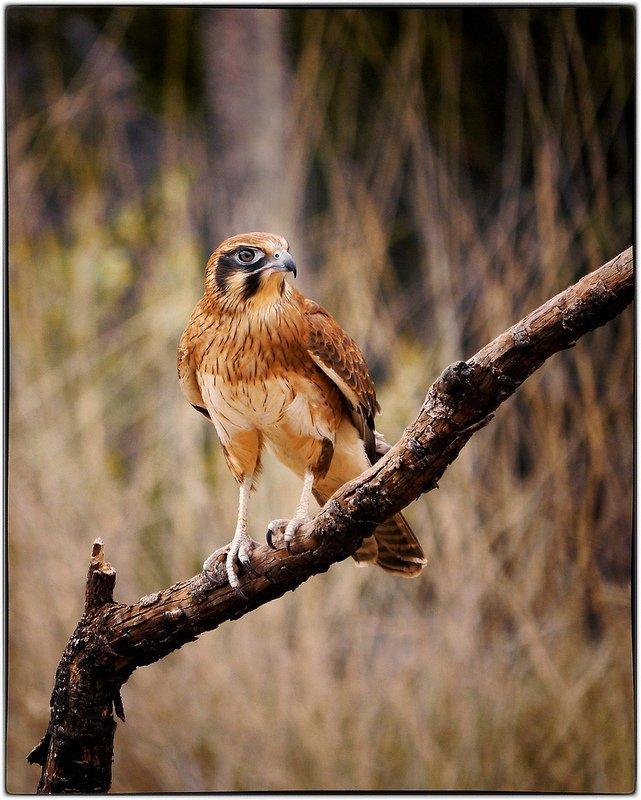 Brown Falcon (Falco berigora) (Captive)